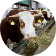Cattle Food Reduced Glucosinate content